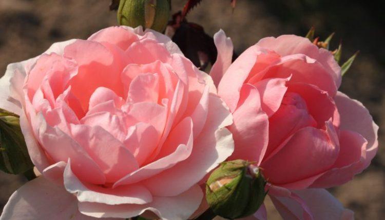 Beautiful Roses You Can Buy